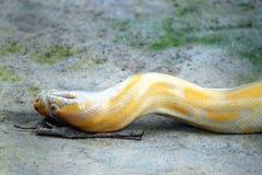 Serpente dorato del pitone Fotografia Stock Libera da Diritti