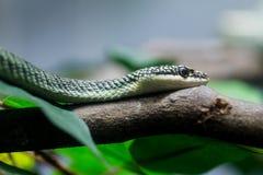 Serpente dorato dell'albero Immagini Stock Libere da Diritti