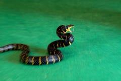 Serpente dos manguezais do borrão de movimento no ataque foto de stock royalty free