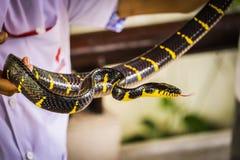 Serpente dos manguezais imagens de stock royalty free