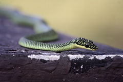 Serpente dourada da árvore Foto de Stock Royalty Free