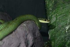 Serpente dourada da árvore (ornata de Chrysopelea) Fotografia de Stock