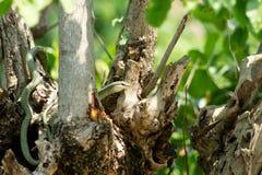 Serpente dourada da árvore (ornata de Chrysopelea) Imagem de Stock Royalty Free