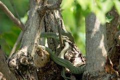 Serpente dourada da árvore (ornata de Chrysopelea) Fotografia de Stock Royalty Free