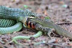 Serpente dourada da árvore Fotografia de Stock Royalty Free