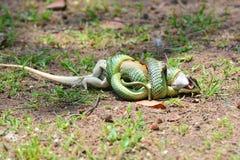 Serpente dourada da árvore Fotos de Stock Royalty Free