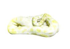 Serpente dourada do pitão no branco Imagem de Stock