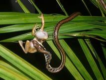 Serpente e rana Fotografia Stock