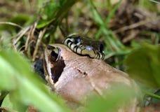 Serpente e rana Fotografia Stock Libera da Diritti