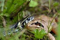 Serpente e rana Fotografie Stock Libere da Diritti