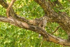 Serpente Eagle Imagem de Stock Royalty Free