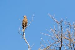 Serpente Eagle di Brown sull'allerta Fotografia Stock Libera da Diritti