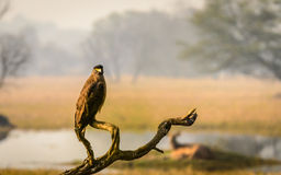 Serpente Eagle na pose bonita Fotos de Stock Royalty Free