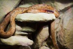 Serpente em uma rocha Foto de Stock