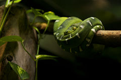 Serpente - Emerald Tree Boa (Corallus Caninus) Immagine Stock Libera da Diritti
