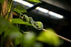 Serpente - Emerald Tree Boa (Corallus Caninus) Fotografia Stock