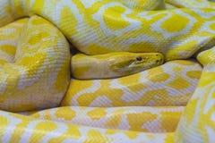 Serpente enorme Fotografia Stock Libera da Diritti
