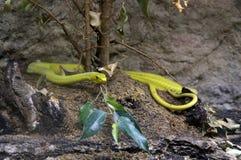 serpente giallo 1 fotografia stock libera da diritti