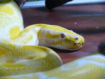 Serpente giallo Fotografia Stock