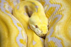 Serpente giallo Immagine Stock