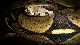 Serpente grande Fotografia de Stock Royalty Free