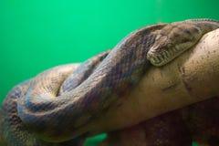 A serpente grande encontra-se em uma árvore Fotografia de Stock