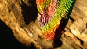 Serpente híbrida colorida Fotografia de Stock Royalty Free
