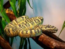 Serpente heterogéneo amarela Imagem de Stock Royalty Free
