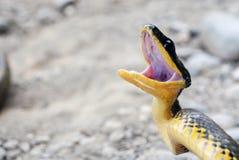 Serpente irritada em Costa-Rica Fotografia de Stock
