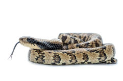 Serpente isolada no branco imagem de stock