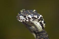 serpente Largo-dirigida (bungaroides de Hoplocephalus) Imagens de Stock
