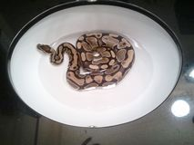 Serpente in lavandino fotografia stock