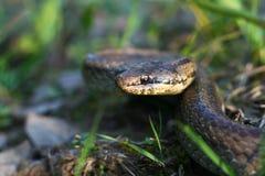 Serpente liscio Fotografie Stock Libere da Diritti