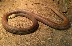 Serpente litoral australiana do taipan fotografia de stock royalty free