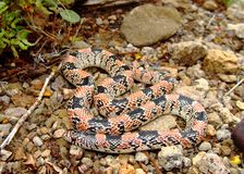 Serpente long-nosed del Texas, lecontei di Rhinocheilus Immagine Stock