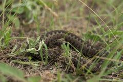 Serpente lungo Immagini Stock Libere da Diritti