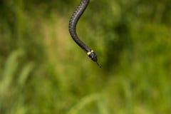Serpente lungo Fotografie Stock