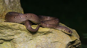 Serpente marrom bonita em rochas, Pareas Imagens de Stock