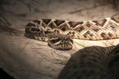 Serpente mortal Imagens de Stock