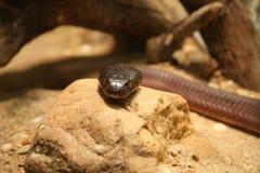 Serpente mortale Fotografia Stock Libera da Diritti