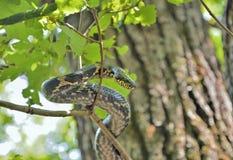 Serpente na árvore 3 fotos de stock