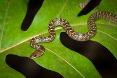 Serpente na folha Imagem de Stock Royalty Free