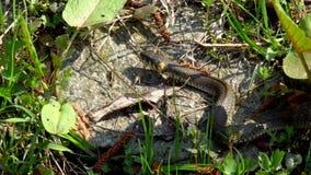 Serpente na grama video estoque