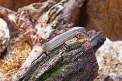 Serpente na madeira Fotos de Stock Royalty Free