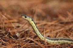 Serpente negli aghi del pino Fotografia Stock