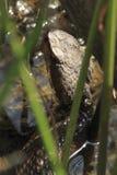 Serpente nell'acqua Fotografia Stock