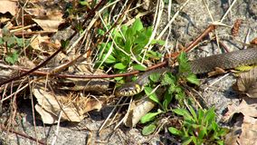 Serpente nell'erba stock footage