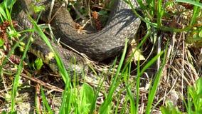 Serpente nell'erba archivi video