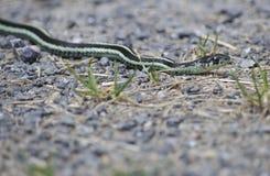 Serpente nelle rocce Fotografia Stock