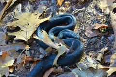 Serpente nero Immagine Stock